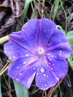 Purple flower Honduras