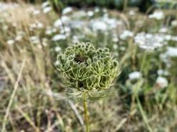 Wildflower Vanoise National Park