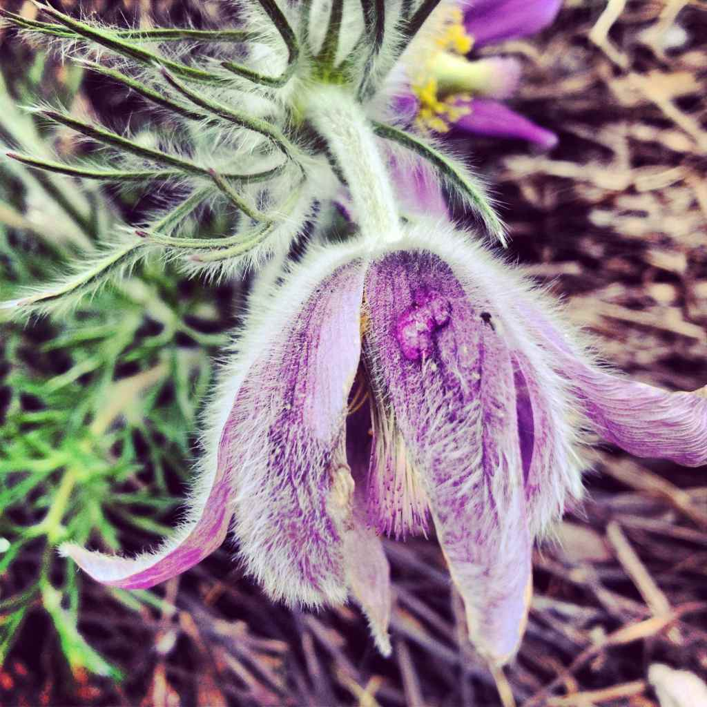 Pasque flower in Minnesota